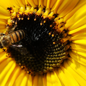 sunflower and bee by Cristobal Garciaferro Rubio - Animals Insects & Spiders ( bee, sunflower, yellow, flower )