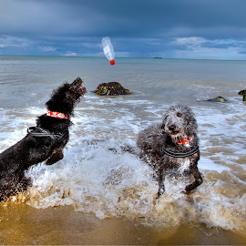 ON THE SURF by Tp Mac Curtain - Animals - Dogs Playing ( ireland, jack, bray, seaside, walter )