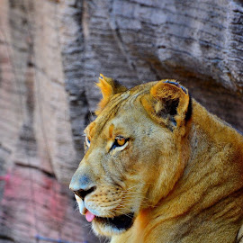 by Patricia Warren - Animals Lions, Tigers & Big Cats