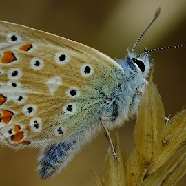 Male Common Blue Butterfly by Pat Somers - Animals Insects & Spiders