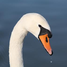 swan by Tomislav Šestak - Animals Birds