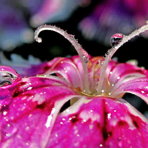 Dianthus Macro.jpg