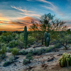 Menagerie by Charlie Alolkoy - Landscapes Deserts ( desert, sunset, arizona, tucson, sunrise, cactus )