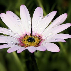 Osteospermum 'Lady Leitrim' 13 3 by Val  Ford - Nature Up Close Flowers - 2011-2013