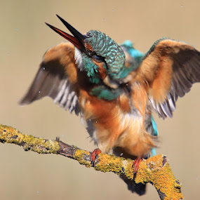 Kingfisher by Ivan Stulic - Animals Birds ( bird, alcedo atthis, wings, kingfisher, branch )