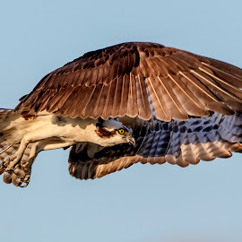 Osprey in Flight by Debbie Quick - Animals Birds ( raptor, debbie quick, crown point, nature, adirondacks, outdoor photography, nature lovers, nature up close, osprey, natures best shots, debs creative images, new york, national geographic, outdoor magazine, wildlife photography, birds of prey, outdoors, animal photography, bird photography, bird, animal, wild, wildlife )