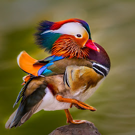 Mandarin High Step by Don Holland - Animals Birds