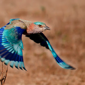 Shades of Blue by Masood Hussain - Animals Birds ( flying colors, freedom, glide, wildlife, blue jay, birds, birding, ornithology, free, sky, nature, wings, action, ecology, bird photography, biology, limit, majestic, colors, glory, bird pictures, bird photos, forest, indian roller, magnificent, bird, bird shots, flight, blue, jungle, fly, take off, high, natural )