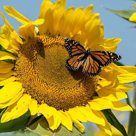 Monarch Butterfly by Kathleen Otto - Animals Insects & Spiders