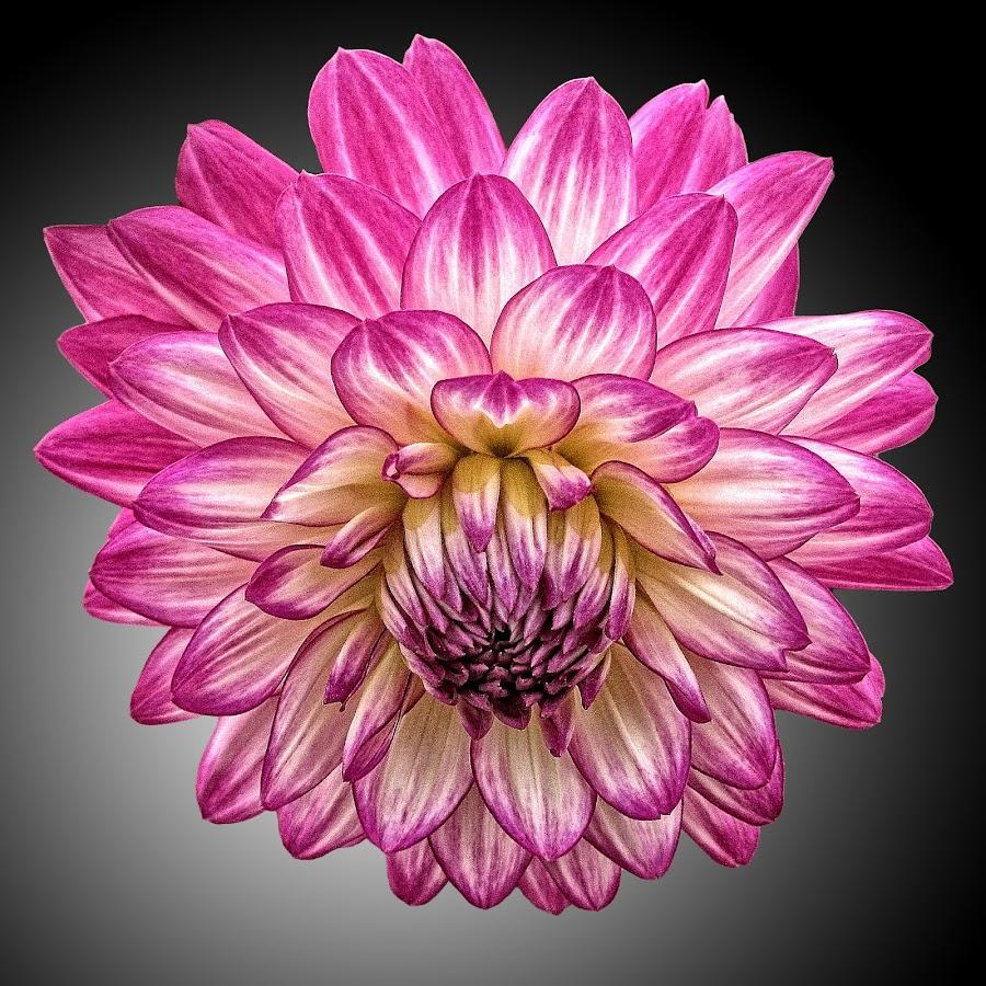 AYLI dahlia 80 by Michael Moore - Flowers Single Flower (  )
