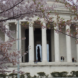 cherry blossoms with Jefferson Memorial by Elizabeth O - Buildings & Architecture Statues & Monuments