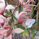 Geometrid Moth on Orchid