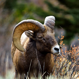 by Tony Lobato - Animals Other Mammals ( wild, animals, nature, rocky mountains, colorado, nature up close, wildlife, sheep, bighorn )