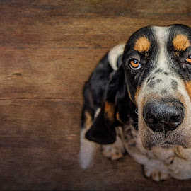 Jimmy Riddle by Mark Story - Animals - Dogs Portraits