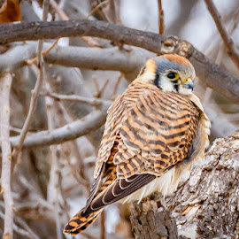 American Kestrel by Jim Hendrickson - Novices Only Wildlife ( bird, birds of prey, american, hawks, wildlife, falcon, kestrel, birds, hawk )