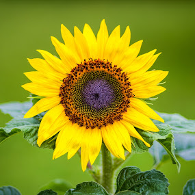 Sunflower by Ed & Cindy Esposito - Flowers Single Flower ( color, bright, sunflower, yellow, bokeh )