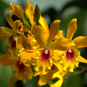 Yellow Orchid  by Larry Bidwell - Flowers Flower Gardens