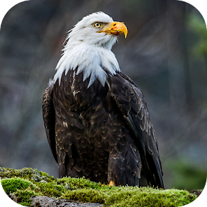 Eagle Wallpapers for PC-Windows 7,8,10 and Mac