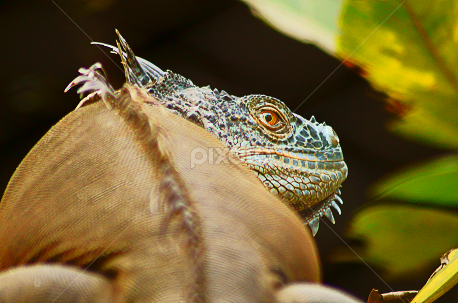 Iguana by Chandra Mouli Roy Chowdhury - Novices Only Wildlife