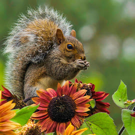 Squirrel at lunch by Claude Lamothe - Animals Other ( 2014, c, squirrel, photography, animal )