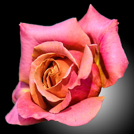 Field D rose 09 by Michael Moore - Flowers Single Flower (  )