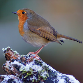 Robin by Bob Rawlinson - Animals Birds ( hide town )