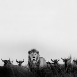 King and beasts by Sunil Manikkath - Animals Lions, Tigers & Big Cats