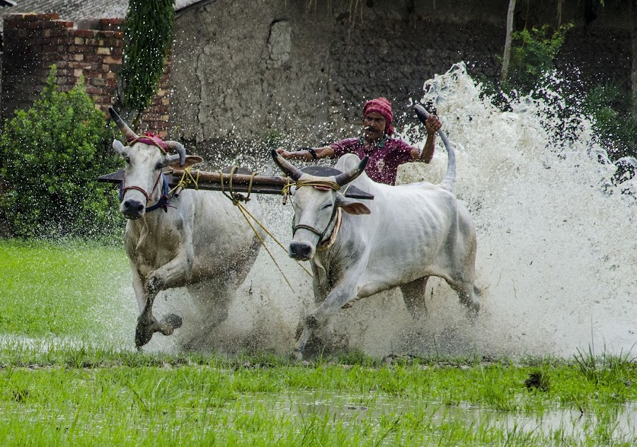 BULL RACE by Debasish Chatterjee - Sports & Fitness Other Sports
