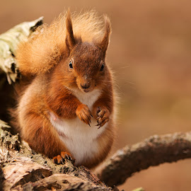 You lookin at me by David Wilson - Animals Other Mammals ( red, woodland, mammal, squirrel, animal )