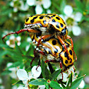 Spotted flower chafers