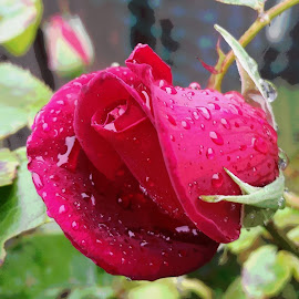Outdoor Rose by Candace Penney - Flowers Flower Buds ( rose, rosebud, outdoors, red rose, raindrops )