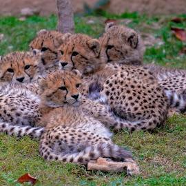 by Kishu Keshu - Animals Lions, Tigers & Big Cats