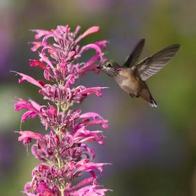by Brandon Downing - Animals Birds ( bird, macro, nature, broad tailed hummingbird, fine art, wildlife, birding, hummer )