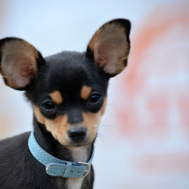 3 month old Chihuahua by Char Robertson - Animals - Dogs Puppies ( puppy, adorable, cute, chihuahua, black and tan )