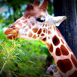 Cheese by Pamm Smith - Animals Other ( nature, giraffe, majestic, outdoors, zoo animals,  )