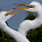 Great White Egret 011.jpg