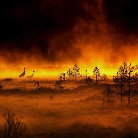 A crane couple in beautiful morning light by Sami Rahkonen - Animals Birds ( wild animal, animals, wildlife, bog, landscape, morning, birds, fire, love, bird, wilderness, nature, fog, crane, sunrise, animal )