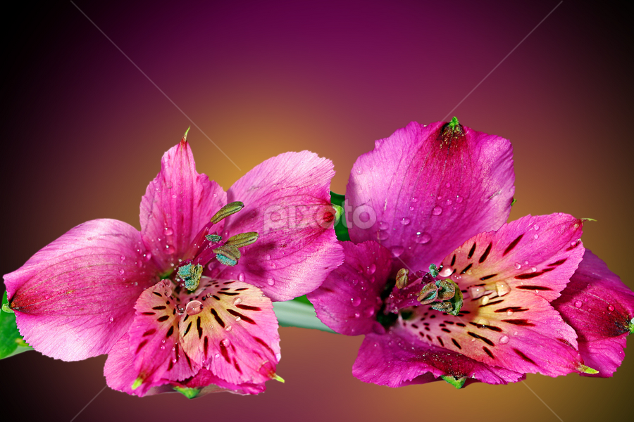 by Dipali S - Flowers Flower Arangements ( smell, plant, fragrance, bouquet, botany, bright, purity, leaf, beauty, botanical, spring, blossom, fragrant, nature, fresh, pink, invitation, alstroemeria, flower, anniversary, blooming, elegance, beautiful, romantic, bloom, florist, easter, summer, lilly )