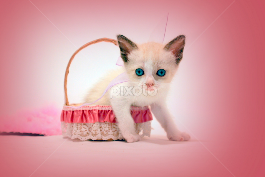 Pink nose by Nallely Martinez - Animals - Cats Portraits ( cat, kitten, blue, basket, pink )