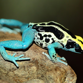 Bicolor frog by Gérard CHATENET - Animals Amphibians