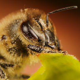 Bee portrait by Amanda Blom - Animals Insects & Spiders ( macro, nature, bee, insect, portrait )