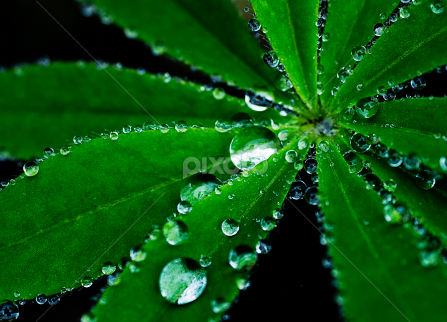 Light rain on a lupin leaf by Peter Greenhalgh - Nature Up Close Leaves & Grasses ( plant, lupinus, lupine, lupin, raindrops, leaf )