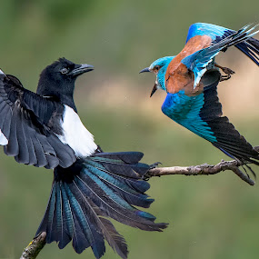 Fight.. by Stanley P. - Animals Birds (  )