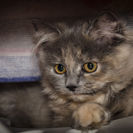 innocence by Lupu Radu - Animals - Cats Kittens ( cat, kitten, fluffy, baby, kitty, eyes,  )