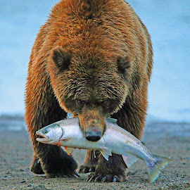 Catch of the day! by Anthony Goldman - Animals Other Mammals ( bear, alaskan, predator, alaska, silver salmon, lake clark, brown, cach, fishing, cook inlet,  )