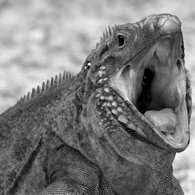Yawn. by Zachary Swears - Animals Reptiles