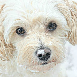 t snowy portrait 3 by B Lynn - Animals - Dogs Portraits ( snowing., snowy., mutt., white., whites. )