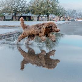 Melting Snow Reflection by Kathy Suttles - Animals - Dogs Running ( water play, water dog, oklahoma snow day, reflections, happy dog, snow play )