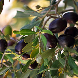 Olives by Ingrid Anderson-Riley - Nature Up Close Gardens & Produce