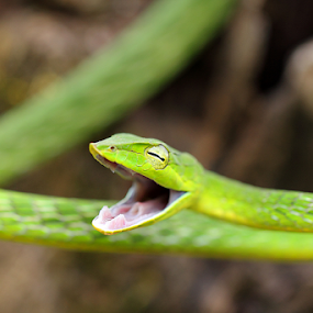 Angry Green Vine Snake... by BhanuKiran BK - Animals Reptiles ( wild, snake, macro, non-venomous, vine, green, angry, reptile, dangerous,  )